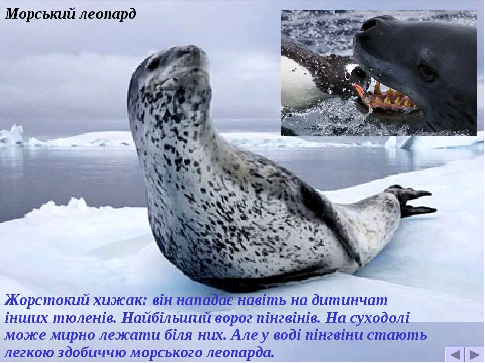 Морський леопард Жорстокий хижак: він нападає навіть на дитинчат інших тюленів. Найбільший ворог пінгвінів. На суходолі може мирно лежати біля них....