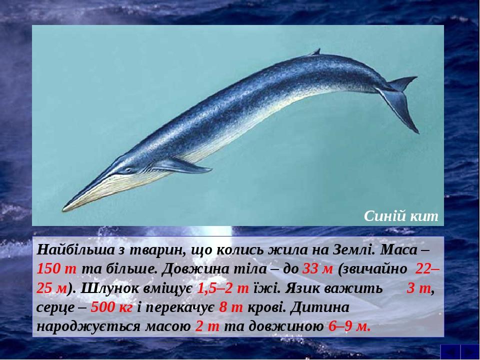 Найбільша з тварин, що колись жила на Землі. Маса – 150 т та більше. Довжина тіла – до 33 м (звичайно 22–25 м). Шлунок вміщує 1,5–2 т їжі. Язик важ...