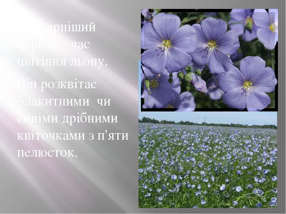 Найгарніший період – час цвітіння льону. Він розквітає блакитними чи синіми дрібними квіточками з п'яти пелюсток.