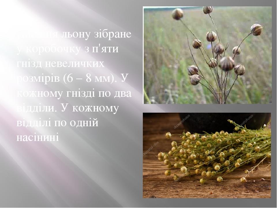 Насіння льону зібране у коробочку з п'яти гнізд невеличких розмірів (6 – 8 мм). У кожному гнізді по два відділи. У кожному відділі по одній насінині