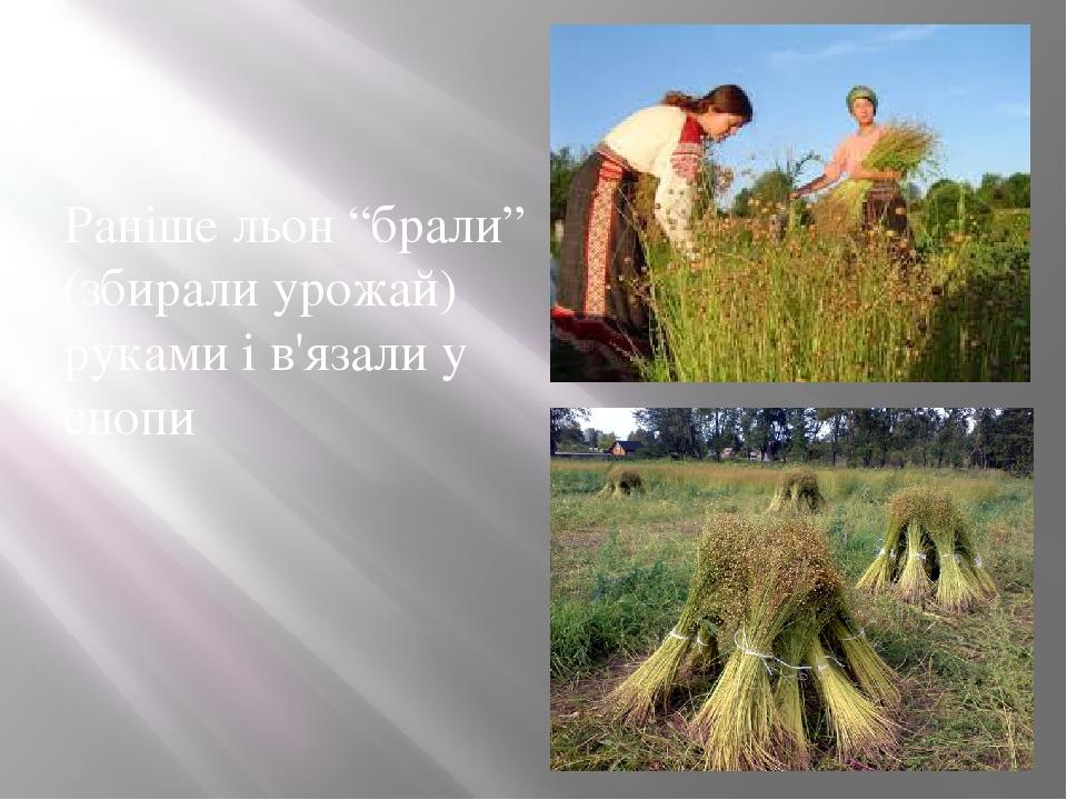 """Раніше льон """"брали"""" (збирали урожай) руками і в'язали у снопи"""