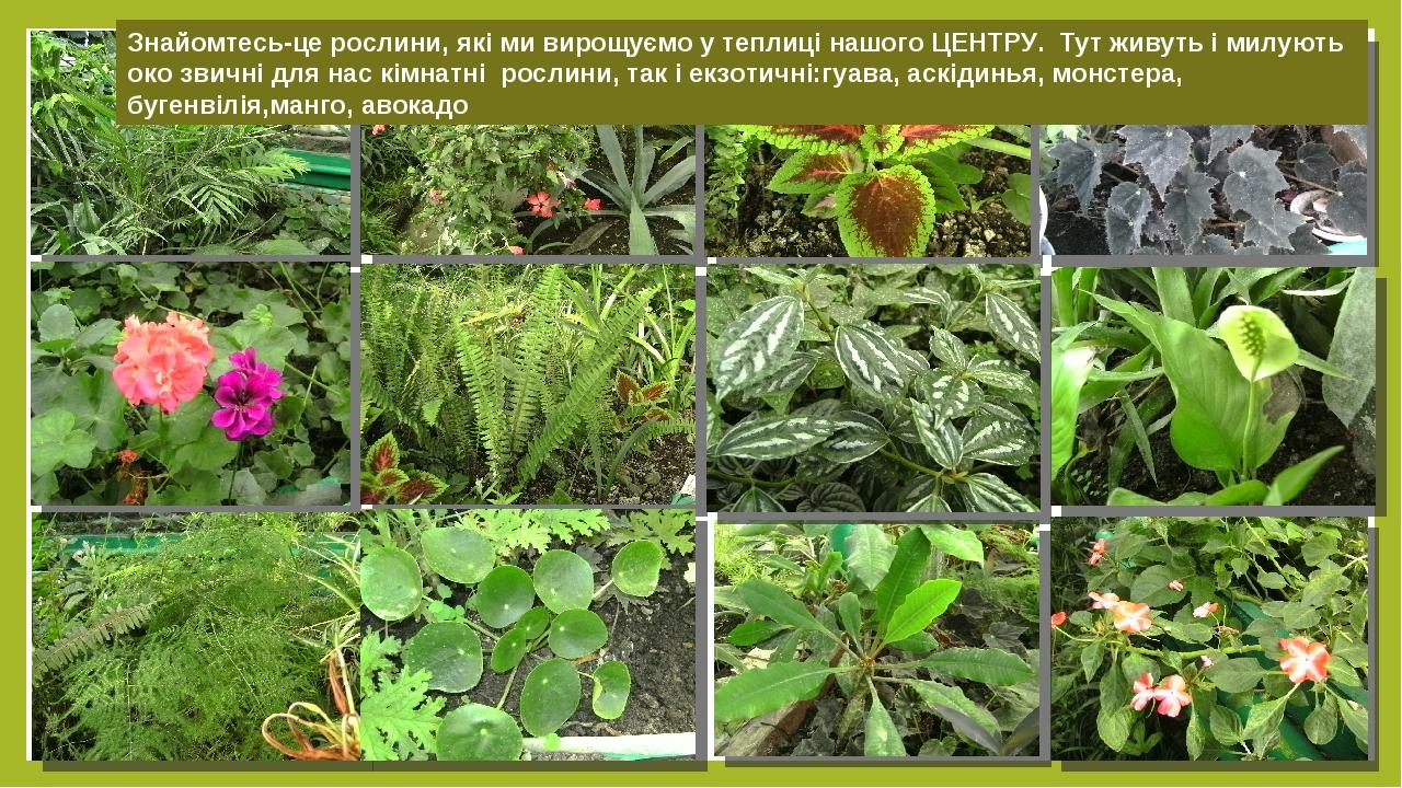Знайомтесь-це рослини, які ми вирощуємо у теплиці нашого ЦЕНТРУ. Тут живуть і милують око звичні для нас кімнатні рослини, так і екзотичні:гуава, а...