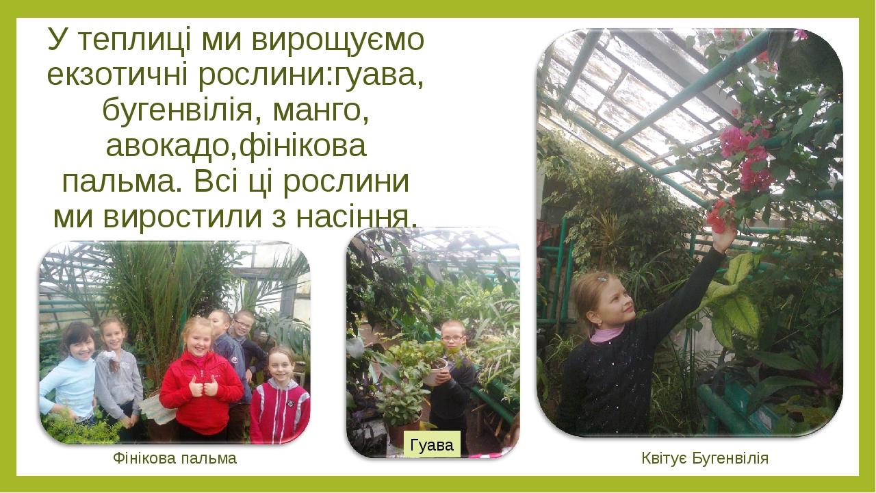 У теплиці ми вирощуємо екзотичні рослини:гуава, бугенвілія, манго, авокадо,фінікова пальма. Всі ці рослини ми виростили з насіння. Квітує Бугенвілі...