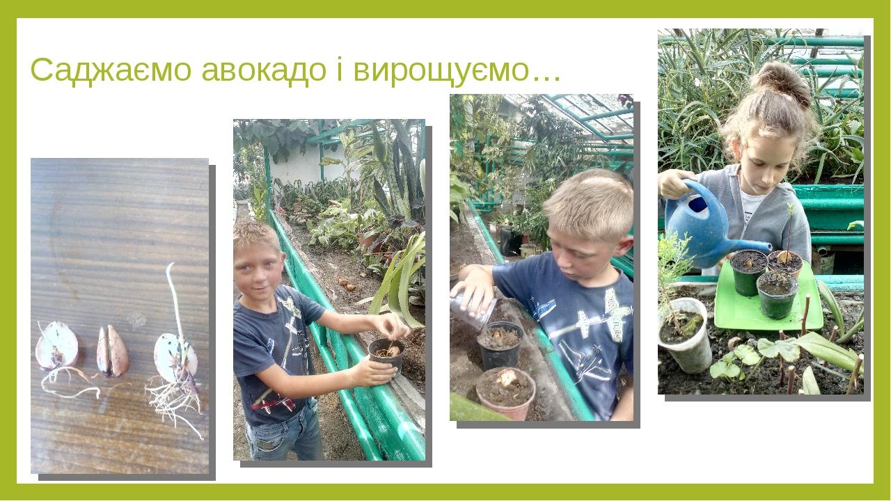 Саджаємо авокадо і вирощуємо…