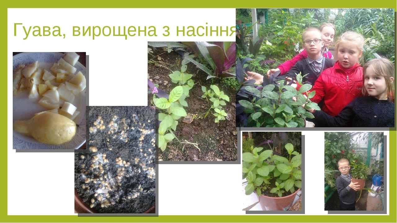Гуава, вирощена з насіння