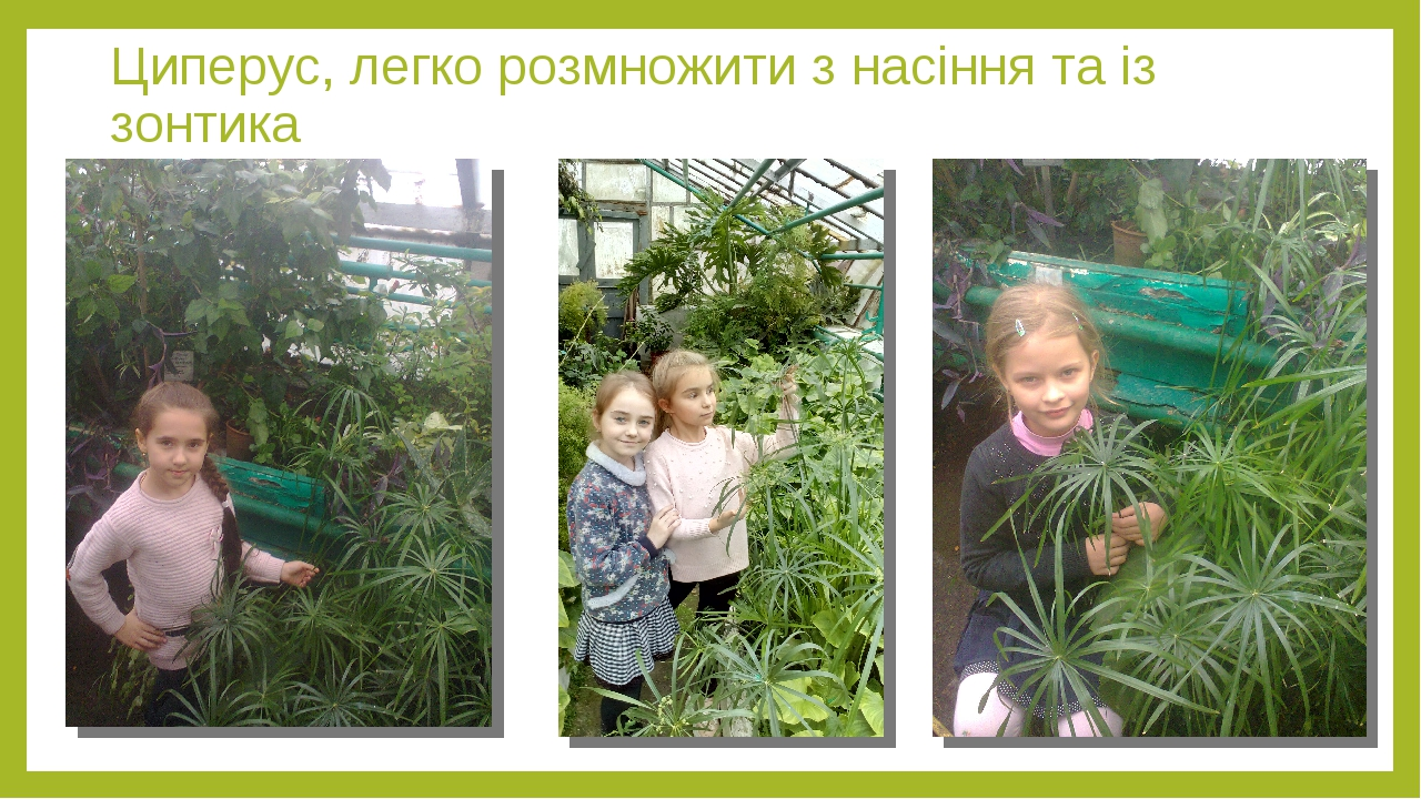 Циперус, легко розмножити з насіння та із зонтика