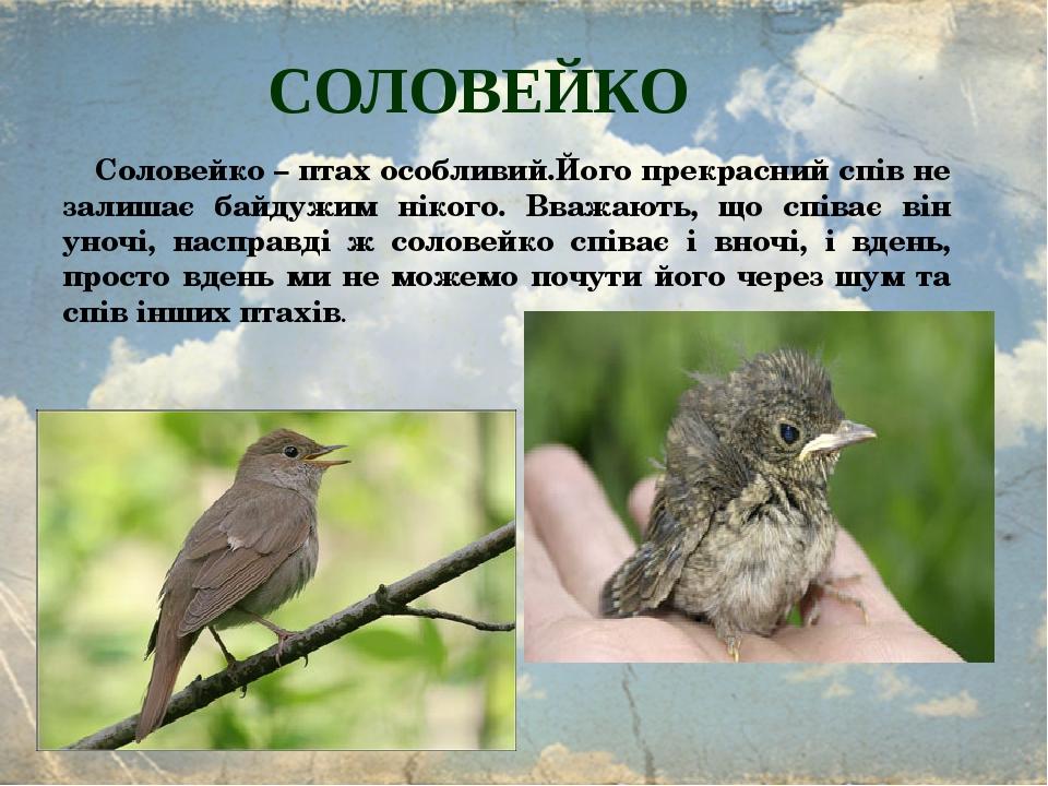 СОЛОВЕЙКО Соловейко – птах особливий.Його прекрасний спів не залишає байдужим нікого. Вважають, що співає він уночі, насправді ж соловейко співає і...