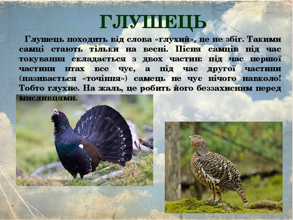 ГЛУШЕЦЬ Глушець походить від слова «глухий», це не збіг. Такими самці стають тільки на весні. Пісня самців під час токування складається з двох час...