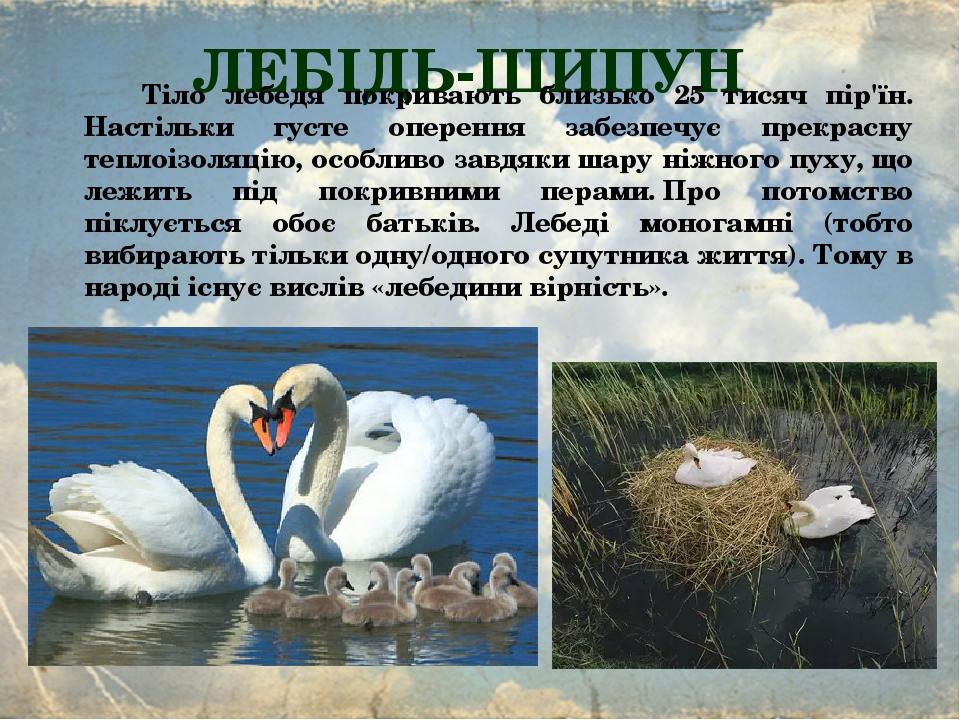 ЛЕБІДЬ-ШИПУН Тіло лебедя покривають близько 25 тисяч пір'їн. Настільки густе оперення забезпечує прекрасну теплоізоляцію, особливо завдяки шару ніж...