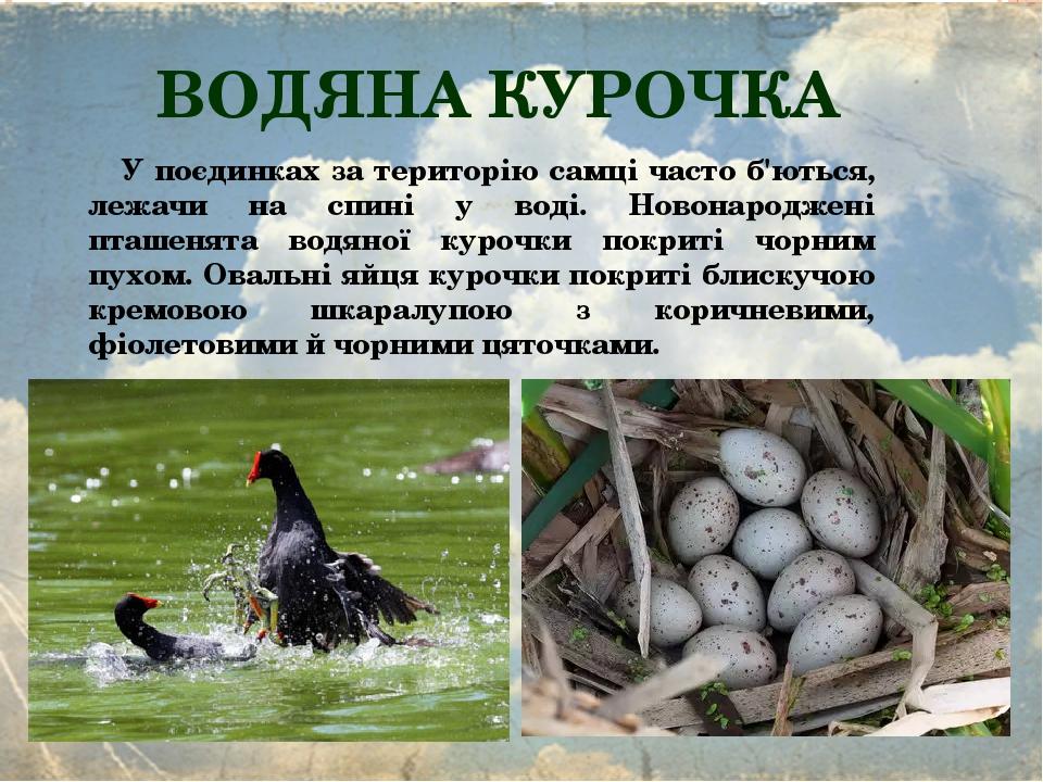 ВОДЯНА КУРОЧКА У поєдинках за територію самці часто б'ються, лежачи на спині у воді. Новонароджені пташенята водяної курочки покриті чорним пухом. ...