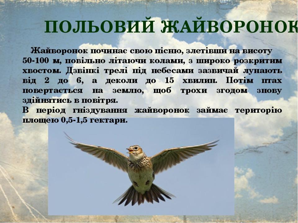 ПОЛЬОВИЙ ЖАЙВОРОНОК Жайворонок починає свою пісню, злетівши на висоту 50-100 м, повільно літаючи колами, з широко розкритим хвостом. Дзвінкі трелі ...
