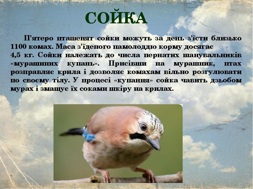 СОЙКА П'ятеро пташенят сойки можуть за день з'їсти близько 1100 комах. Маса з'їденого памолоддю корму досягає 4,5 кг. Сойки належать до числа перна...