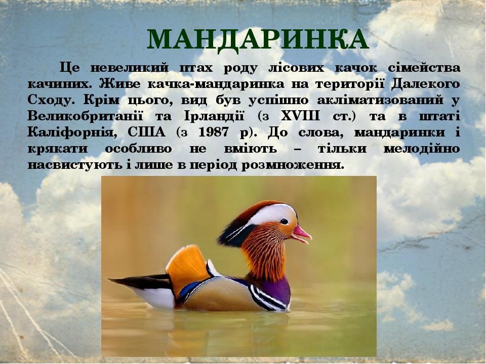 МАНДАРИНКА Це невеликий птах роду лісових качок сімейства качиних. Живе качка-мандаринка на території Далекого Сходу. Крім цього, вид був успішно а...