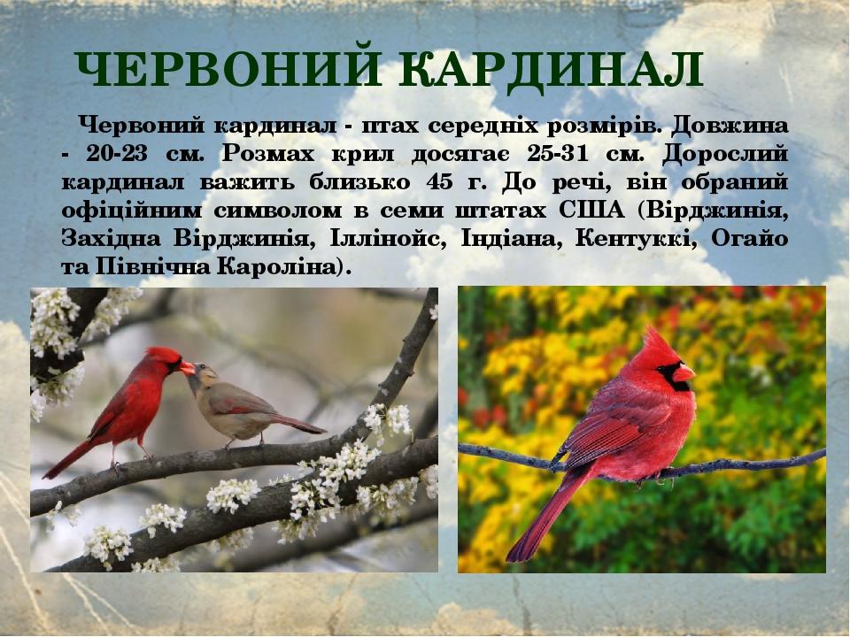 ЧЕРВОНИЙ КАРДИНАЛ Червоний кардинал - птах середніх розмірів. Довжина - 20-23 см. Розмах крил досягає 25-31 см. Дорослий кардинал важить близько 45...