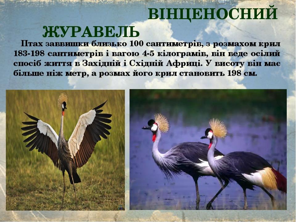ВІНЦЕНОСНИЙ ЖУРАВЕЛЬ Птах заввишки близько 100 сантиметрів, з розмахом крил 183-198 сантиметрів і вагою 4-5 кілограмів, він веде осілий спосіб житт...
