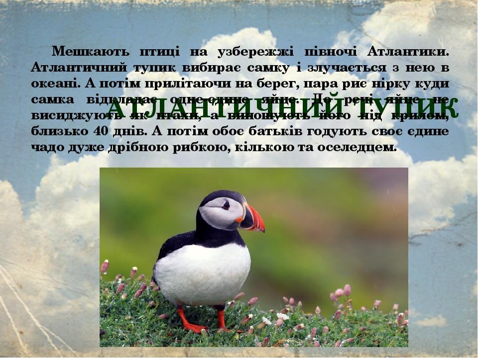 АТЛАНТИЧНИЙ ТУПИК Мешкають птиці на узбережжі півночі Атлантики. Атлантичний тупик вибирає самку і злучається з нею в океані. А потім прилітаючи на...