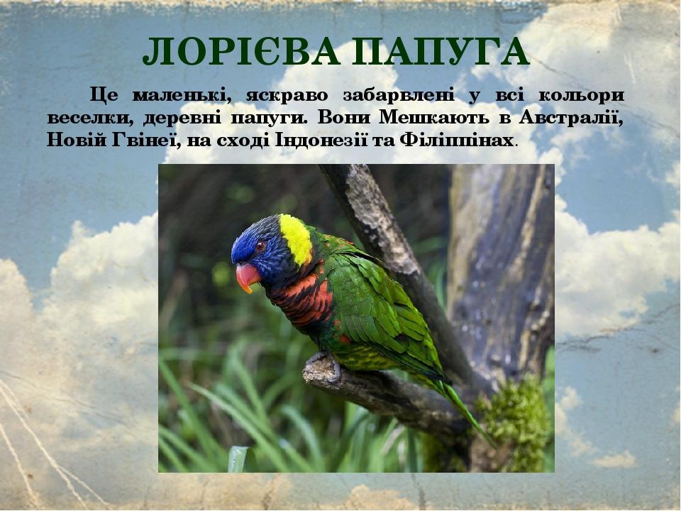 ЛОРІЄВА ПАПУГА Це маленькі, яскраво забарвлені у всі кольори веселки, деревні папуги. Вони Мешкають в Австралії, Новій Гвінеї, на сході Індонезії т...