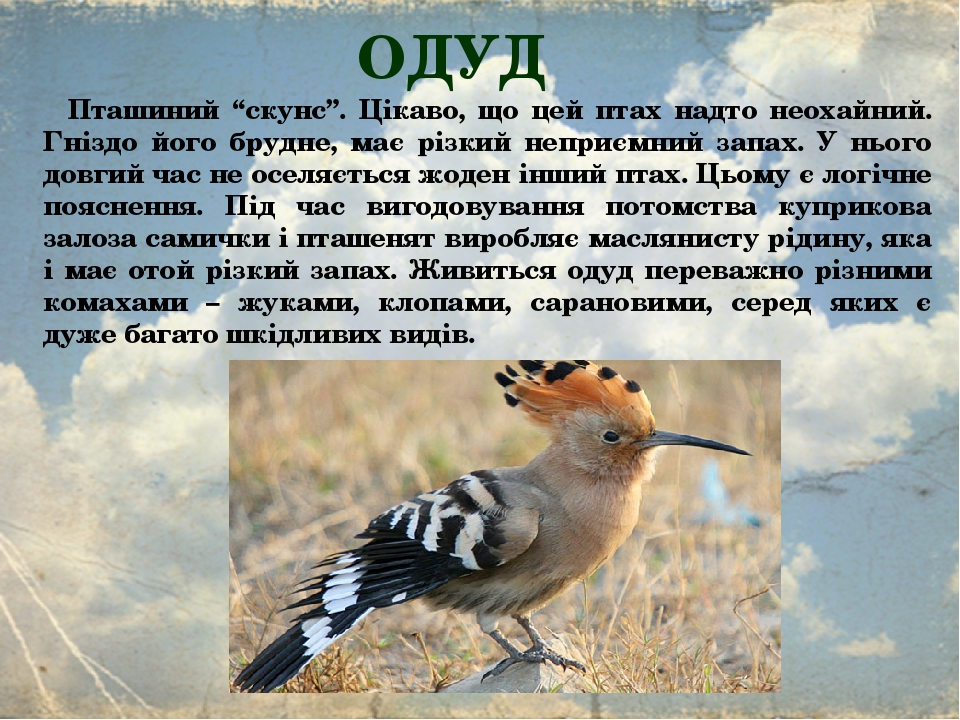 """ОДУД  Пташиний """"скунс"""". Цікаво, що цей птах надто неохайний. Гніздо його брудне, має різкий неприємний запах. У нього довгий час не оселяється жод..."""