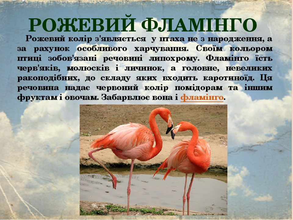 РОЖЕВИЙ ФЛАМІНГО Рожевий колір з'являється у птаха не з народження, а за рахунок особливого харчування. Своїм кольором птиці зобов'язані речовині л...