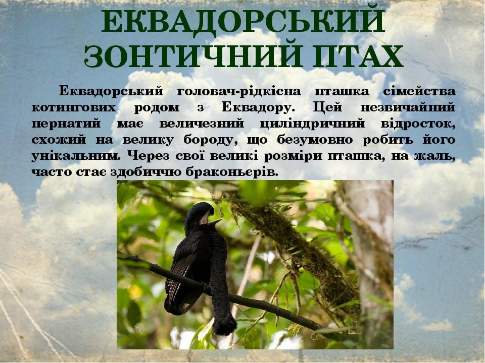 ЕКВАДОРСЬКИЙ ЗОНТИЧНИЙ ПТАХ Еквадорський головач-рідкісна пташка сімейства котингових родом з Еквадору. Цей незвичайний пернатий має величезний цил...