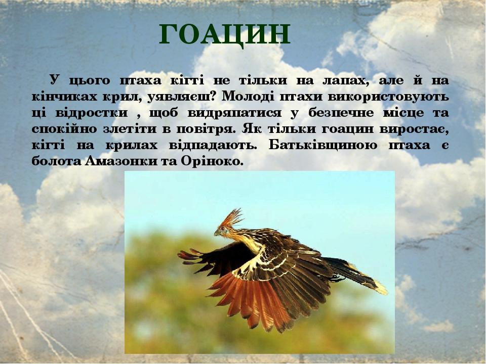 ГОАЦИН У цього птаха кігті не тільки на лапах, але й на кінчиках крил, уявляєш? Молоді птахи використовують ці відростки , щоб видряпатися у безпеч...