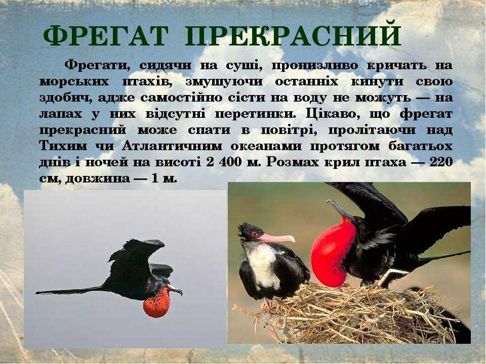 ФРЕГАТ ПРЕКРАСНИЙ Фрегати, сидячи на суші, пронизливо кричать на морських птахів, змушуючи останніх кинути свою здобич, адже самостійно сісти на во...