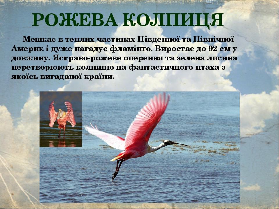 РОЖЕВА КОЛПИЦЯ Мешкає в теплих частинах Південної та Північної Америк і дуже нагадує фламінго. Виростає до 92 см у довжину. Яскраво-рожеве оперення...