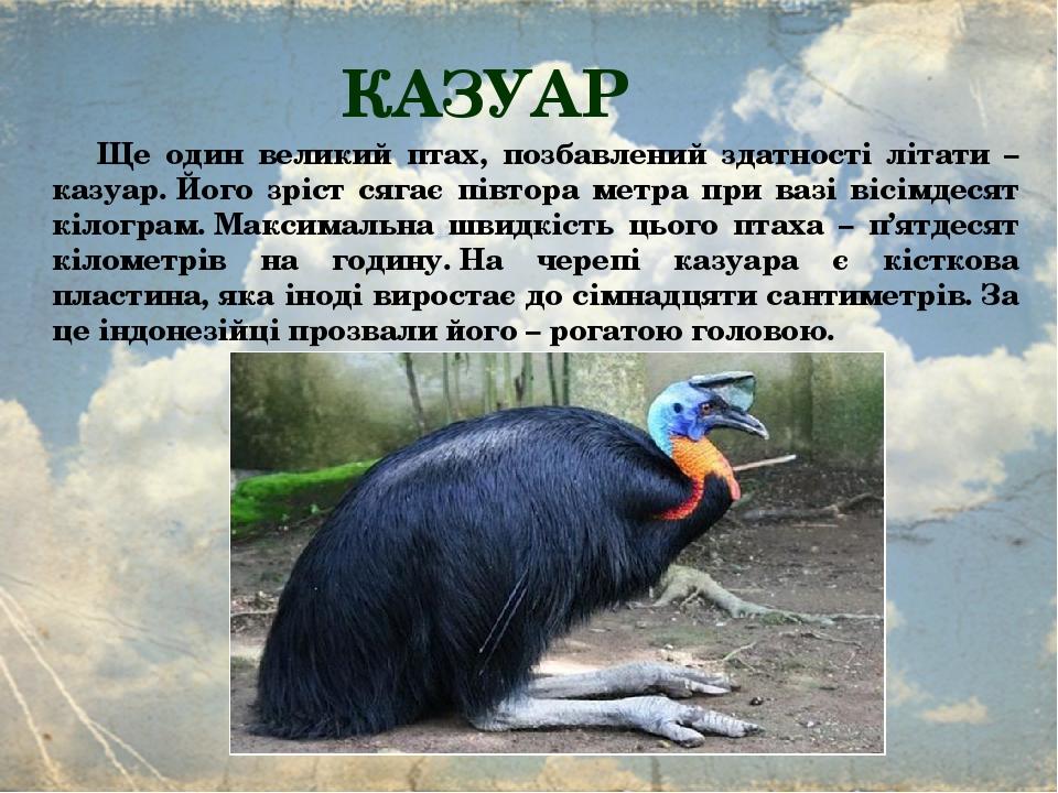 КАЗУАР Ще один великий птах, позбавлений здатності літати – казуар.Його зріст сягає півтора метра при вазі вісімдесят кілограм.Максимальна швидкі...