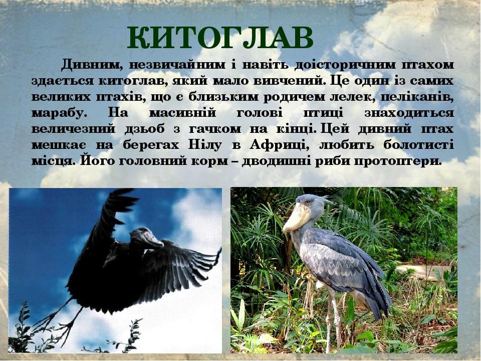 КИТОГЛАВ Дивним, незвичайним і навіть доісторичним птахом здається китоглав, який мало вивчений.Це один із самих великих птахів, що є близьким род...
