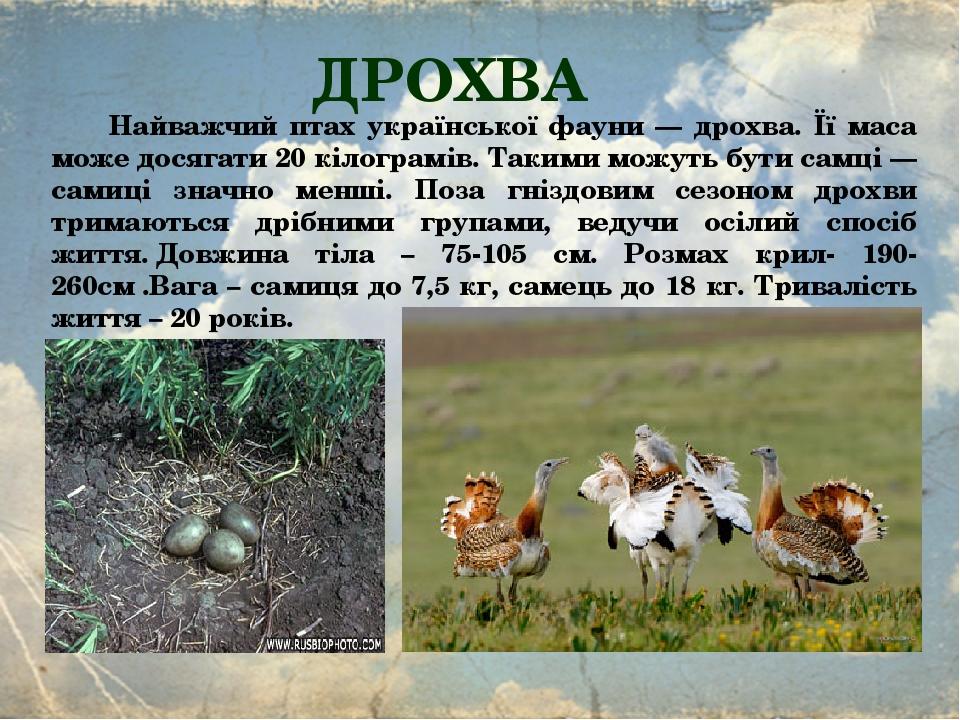 ДРОХВА Найважчий птах української фауни — дрохва. Її маса може досягати 20 кілограмів. Такими можуть бути самці — самиці значно менші. Поза гніздов...