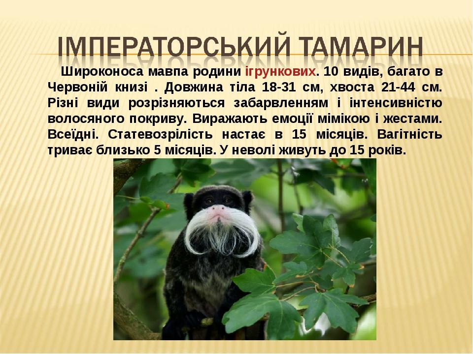 Широконоса мавпа родиниігрункових. 10 видів, багато в Червоній книзі . Довжина тіла 18-31 см, хвоста 21-44 см. Різні види розрізняються забарвленн...