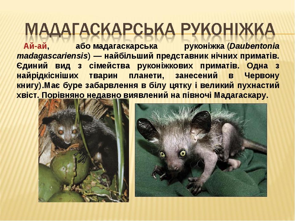 Ай-ай, абомадагаскарська руконіжка(Daubentonia madagascariensis) — найбільший представник нічних приматів. Єдиний вид з сімейства руконіжкових пр...