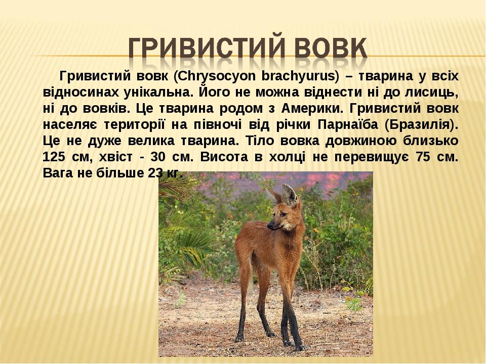 Гривистий вовк (Chrysocyon brachyurus) – тварина у всіх відносинах унікальна. Його не можна віднести ні до лисиць, ні до вовків. Це тварина родом з...