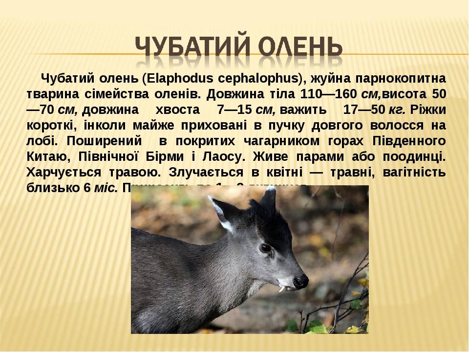 Чубатий олень(Elaphodus cephalophus), жуйна парнокопитна тварина сімейства оленів. Довжина тіла 110—160см,висота 50—70см,довжина хвоста 7—15см...
