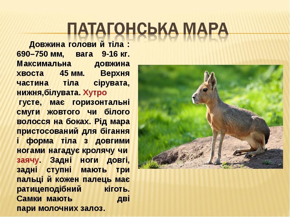 Довжина голови й тіла : 690–750мм, вага 9-16кг. Максимальна довжина хвоста 45мм. Верхня частина тіла сірувата, нижня,білувата.Хутрогусте, має...