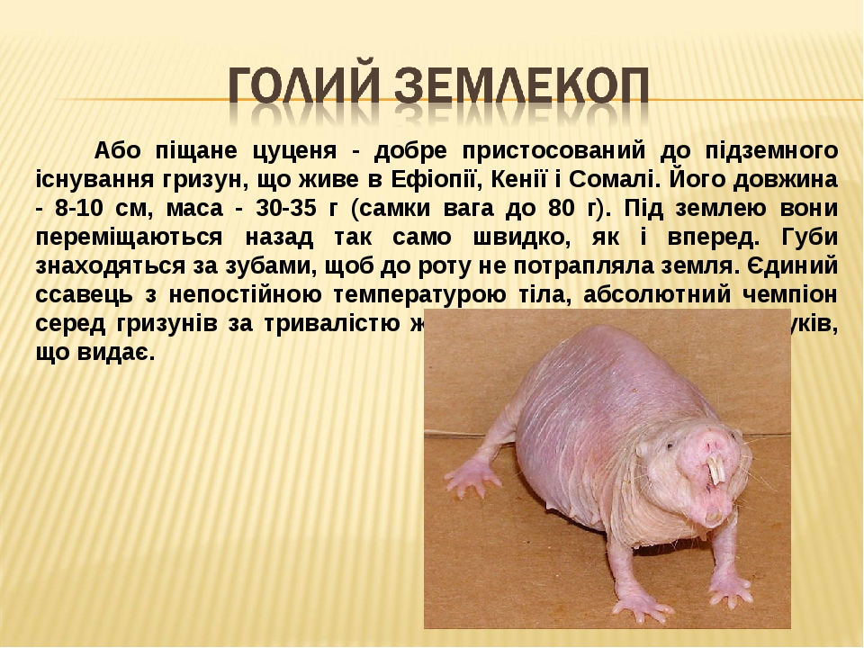 Або піщане цуценя - добре пристосований до підземного існування гризун, що живе в Ефіопії, Кенії і Сомалі. Його довжина - 8-10 см, маса - 30-35 г (...