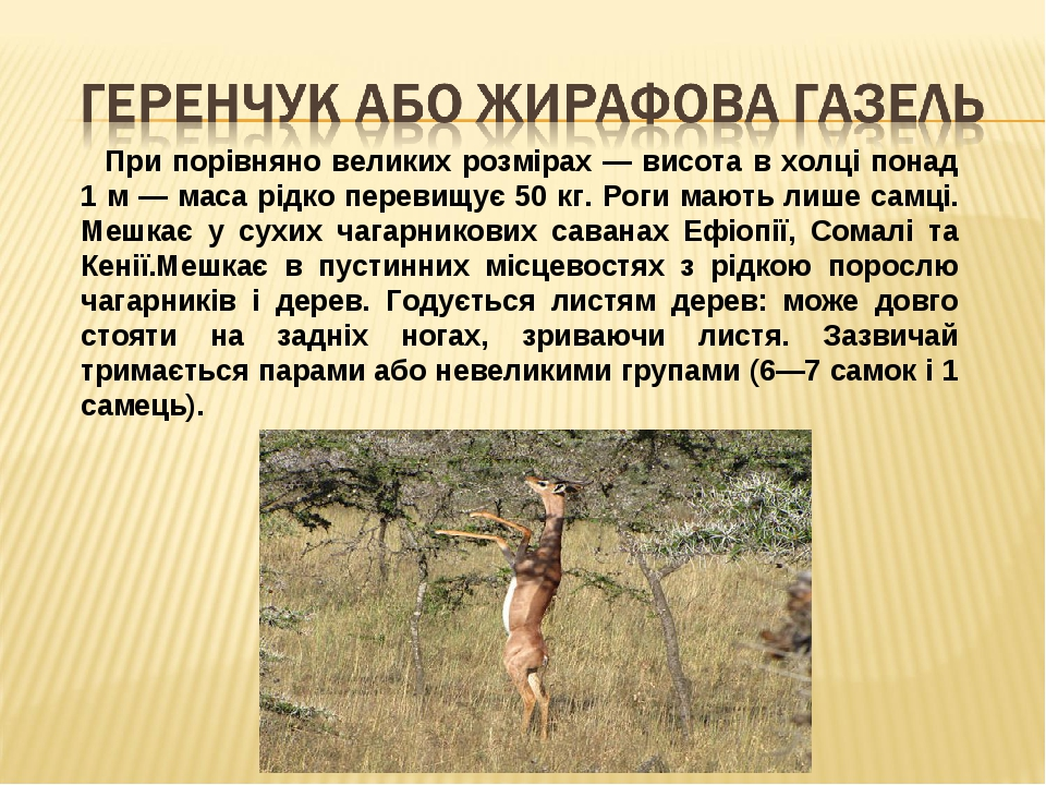 При порівняно великих розмірах — висота в холці понад 1 м — маса рідко перевищує 50 кг. Роги мають лише самці. Мешкає у сухих чагарникових саван...