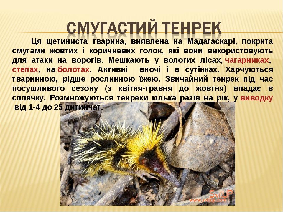 Ця щетиниста тварина, виявлена на Мадагаскарі, покрита смугами жовтих і коричневих голок, які вони використовують для атаки на ворогів. Мешкають у ...