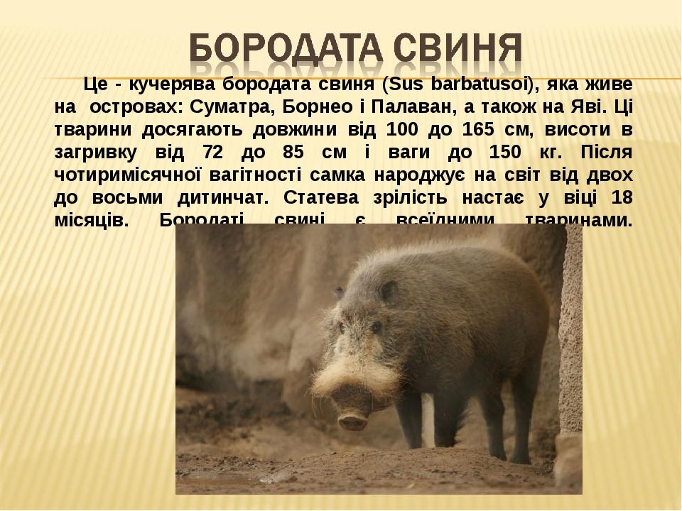 Це - кучерява бородата свиня (Sus barbatusoi), яка живе на островах: Суматра, Борнео і Палаван, а також на Яві. Ці тварини досягають довжини від 10...