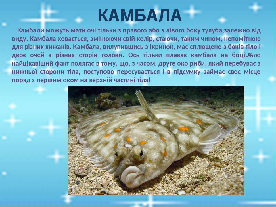 КАМБАЛА Камбали можуть мати очі тільки з правого або з лівого боку тулуба,залежно від виду. Камбала ховається, змінюючи свій колір, стаючи, таким ч...