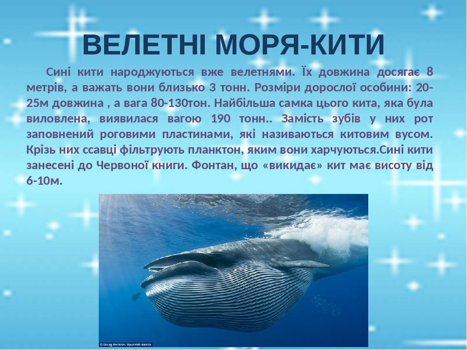 ВЕЛЕТНІ МОРЯ-КИТИ Сині кити народжуються вже велетнями. Їх довжина досягає 8 метрів, а важать вони близько 3 тонн. Розміри дорослої особини: 20-25м...