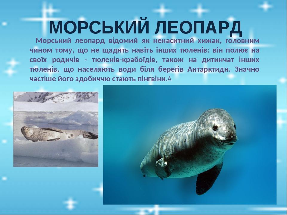 МОРСЬКИЙ ЛЕОПАРД  Морський леопард відомий як ненаситний хижак, головним чином тому, що не щадить навіть інших тюленів: він полює на своїх родичів...