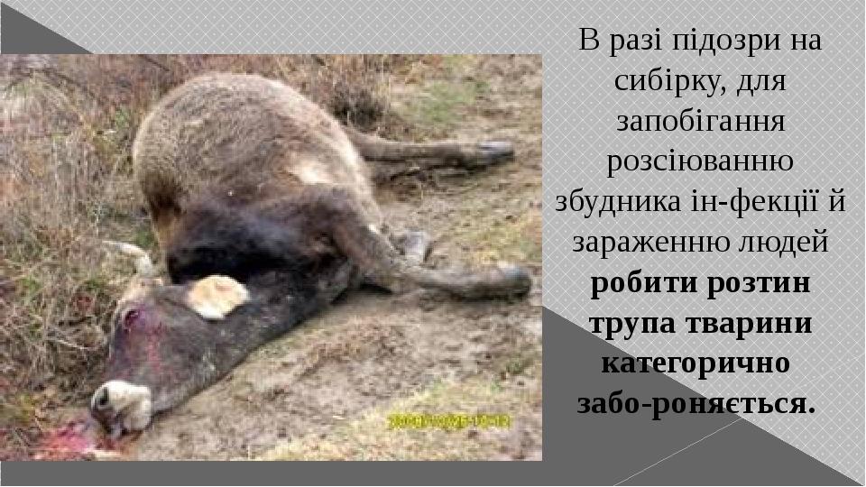 В разі підозри на сибірку, для запобігання розсіюванню збудника інфекції й зараженню людей робити розтин трупа тварини категорично забороняється.