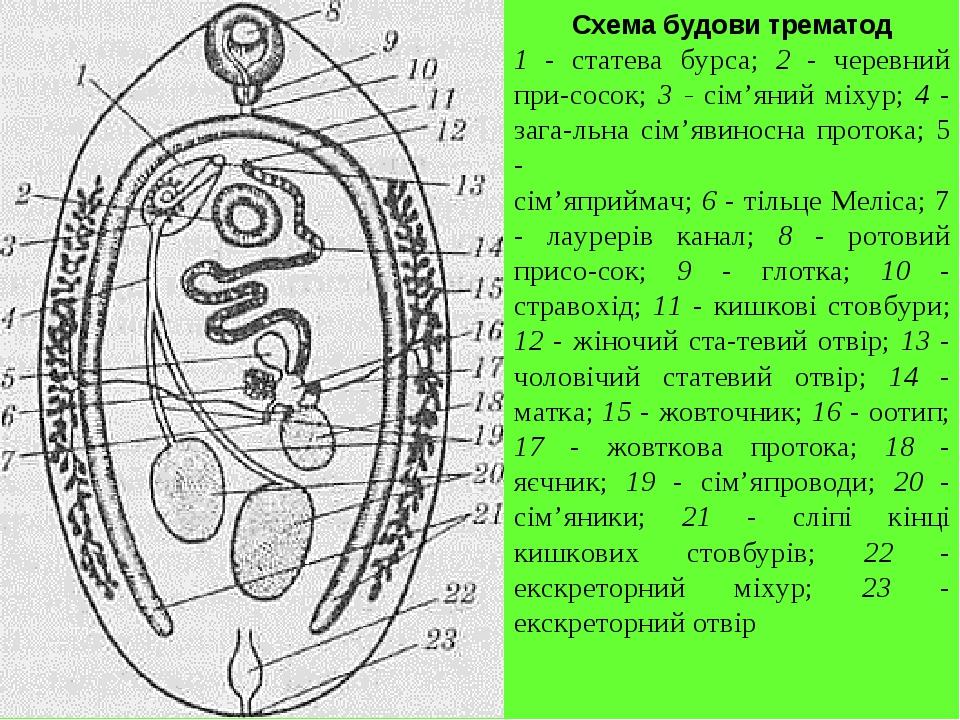 Схема будови трематод 1 - статева бурса; 2 - черевний присосок; 3 - сім'яний міхур; 4 - загальна сім'явиносна протока; 5 - сім'яприймач; 6 - тіль...