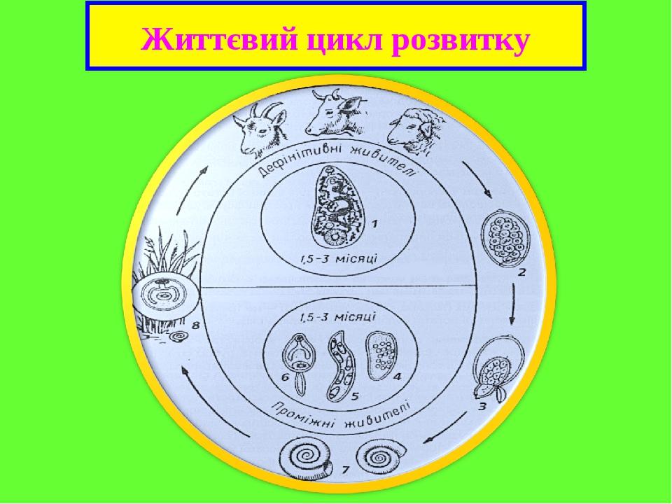 Життєвий цикл розвитку