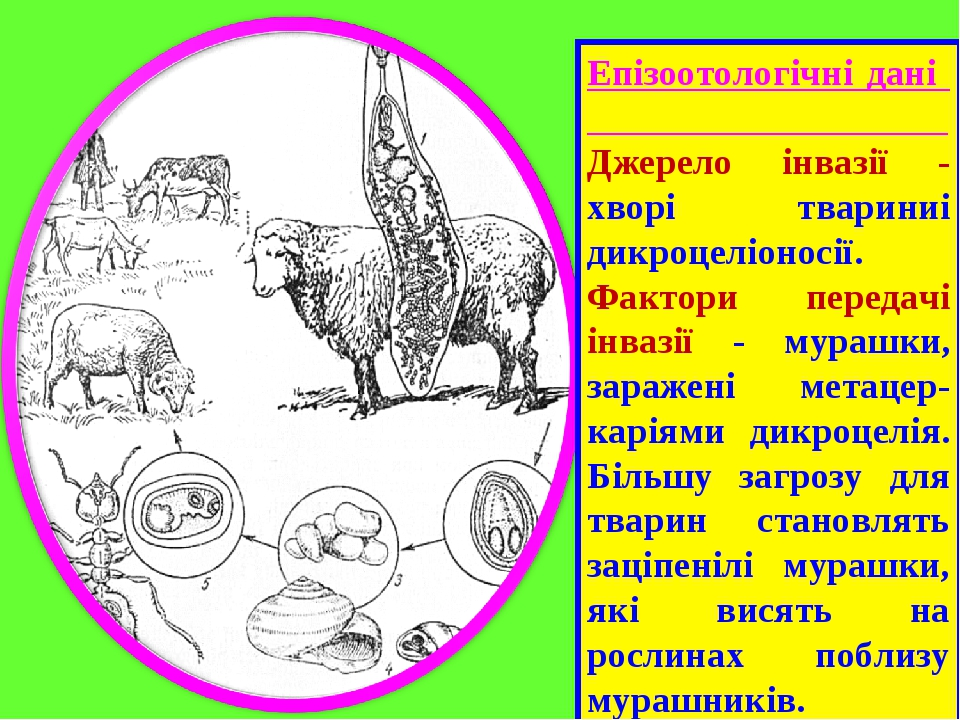 Епізоотологічні дані Джерело інвазії - хворі твариниі дикроцеліоносії. Фактори передачі інвазії - мурашки, заражені метацер-каріями дикроцелія. Біл...