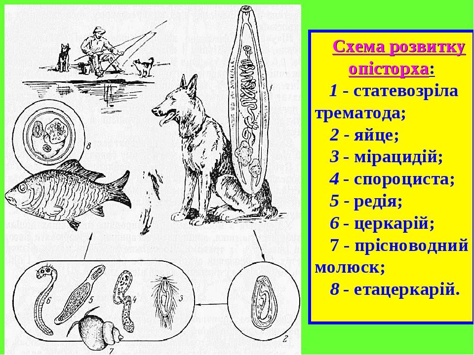 Схема розвитку опісторха: 1 - статевозріла трематода; 2 - яйце; 3 - мірацидій; 4 - спороциста; 5 - редія; 6 - церкарій; 7 - прісноводний молюск; 8 ...