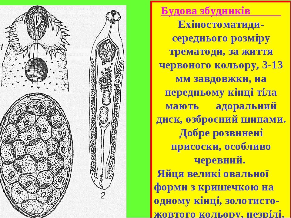 Будова збудників Ехіностоматиди-середнього розміру трематоди, за життя червоного кольору, 3-13 мм завдовжки, на передньому кінці тіла мають адораль...