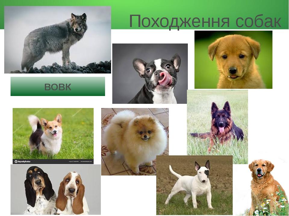 Походження собак ВОВК