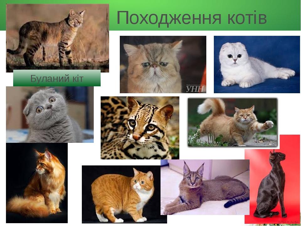 Походження котів Буланий кіт